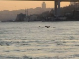 İstanbul Boğazına yunus akını