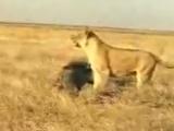 Aslanların yüz karası