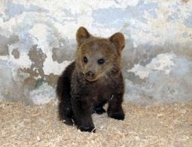 Yaralı yavru ayı koruma altına alındı